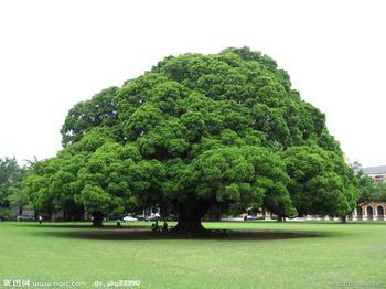 《大榕树》作文400字