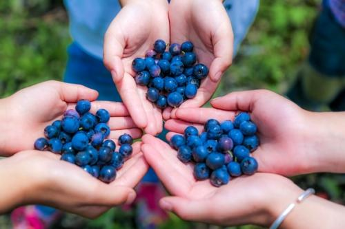 摘蓝莓作文400字