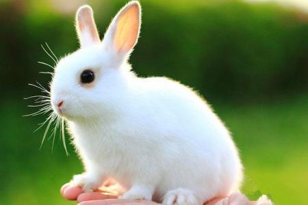 观察兔子作文400字
