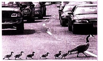 温哥华街头的鸭子作文600字六年级