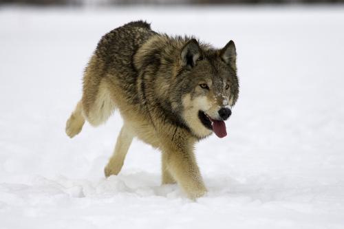 赞美狼的作文1000字