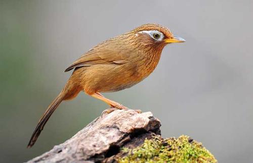描写画眉鸟的作文600字