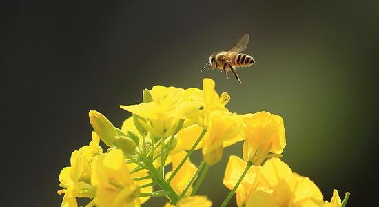 描写蜜蜂的作文600字